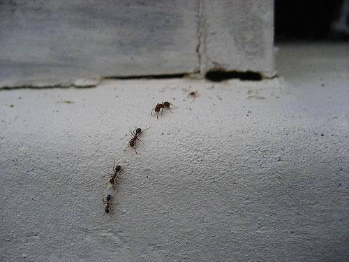 Trail Of Ants