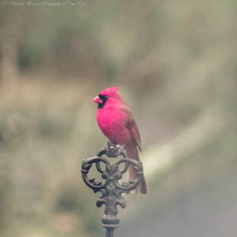Pink Cardinal